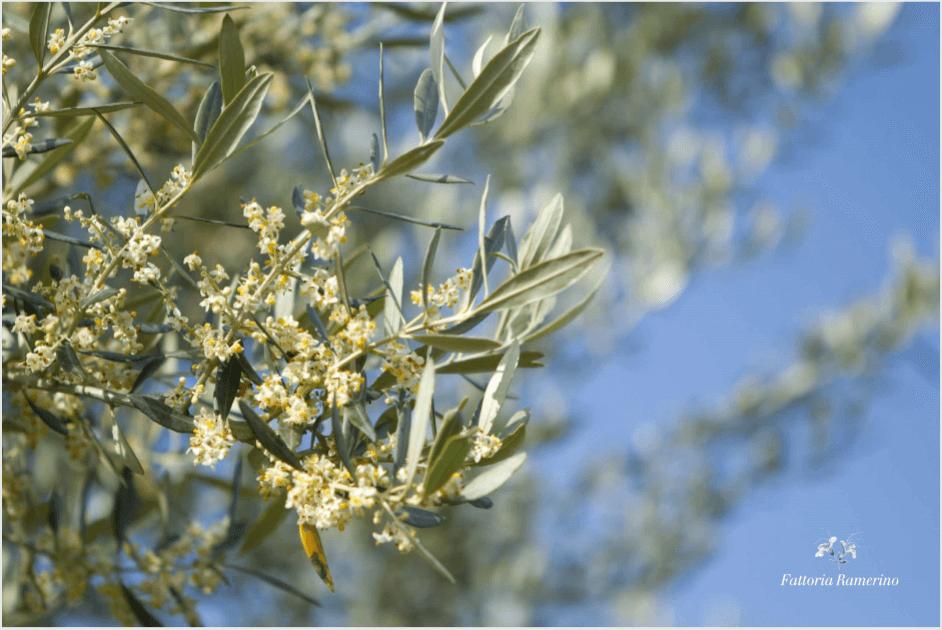 ramerino-fiore
