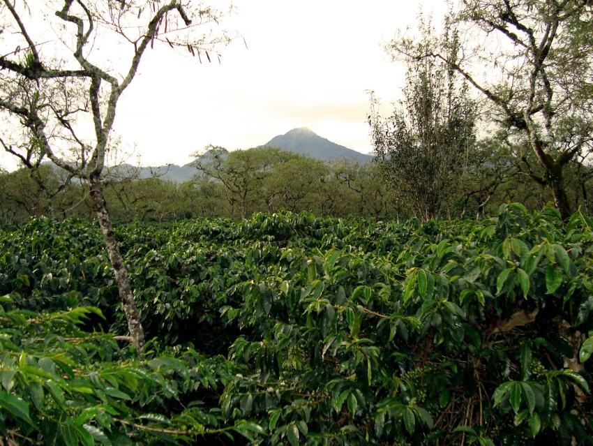 Indonesia-Sumatra-Mandheling-Bio