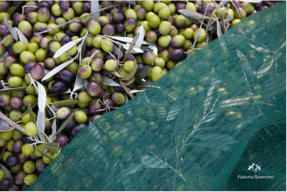 ramerino-olive