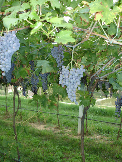 Weintrauben-Weinberg-Weingut-Begali