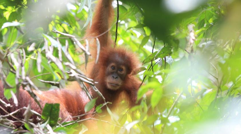 Orang-Utan-Schutz-Indonesia-Sumatra-Kaffee-Projekt