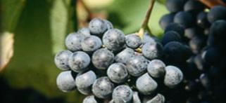 Weintraube-Valdifalco-Toskana