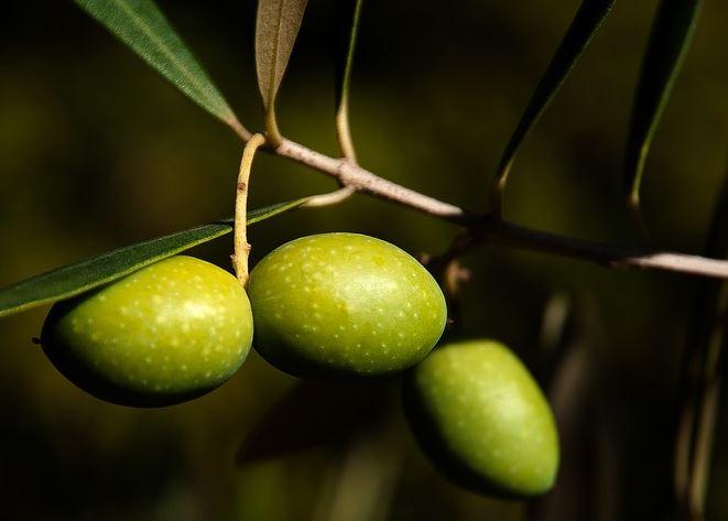 oliven-baum