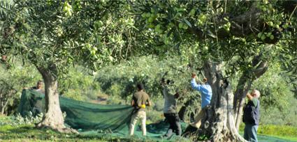 oliven-im-netz