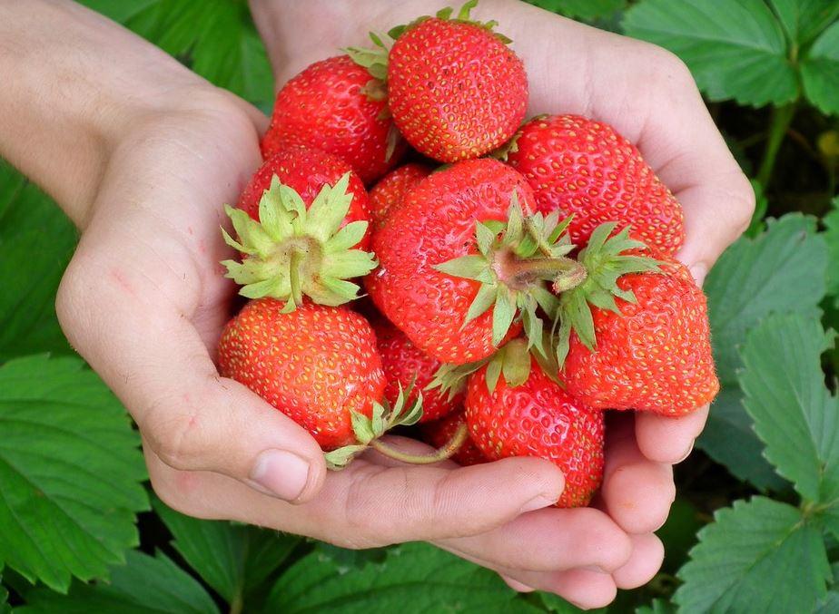 frische-Erdbeeren