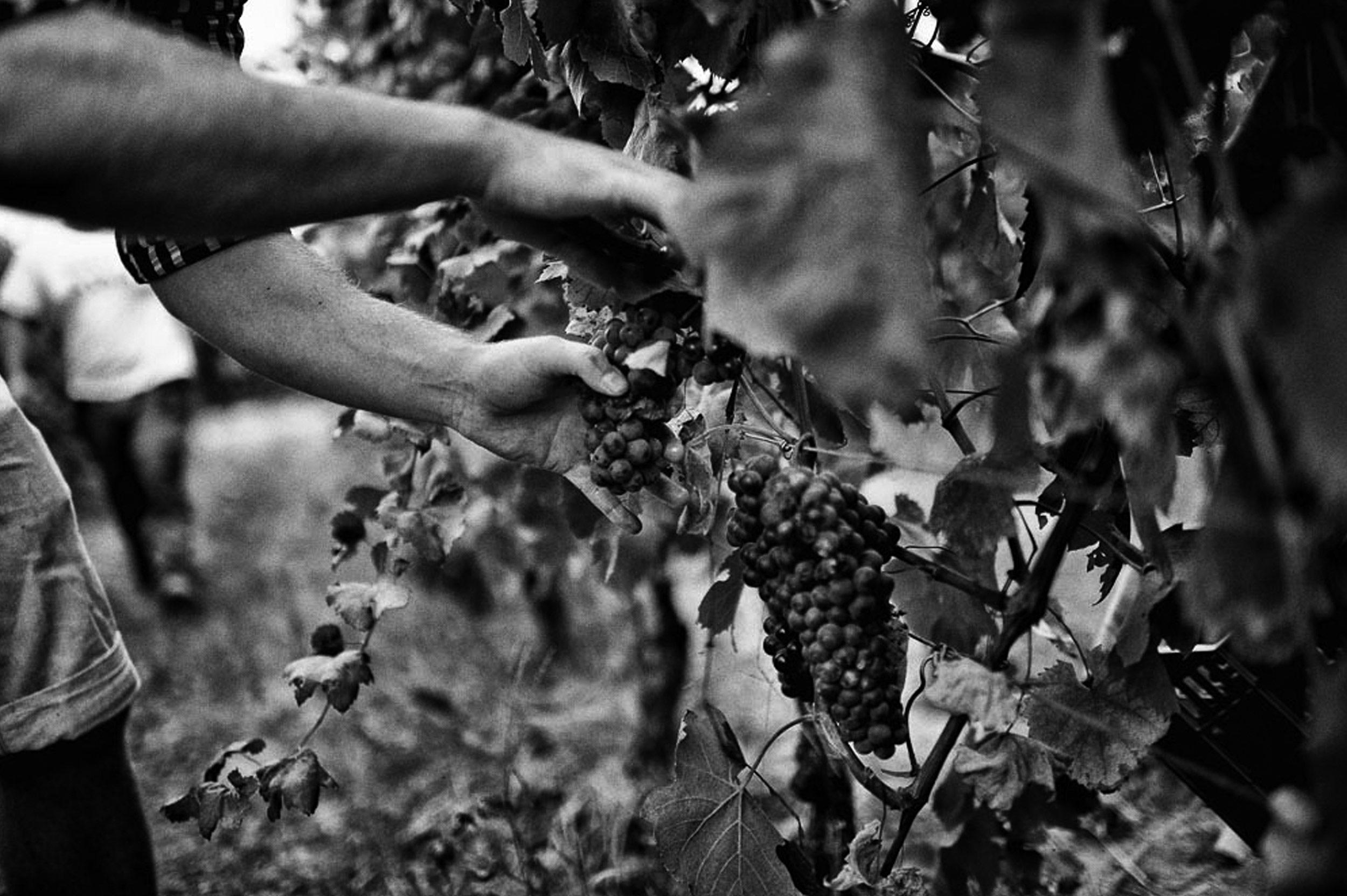Trauben-im-toskanischen-Weinbaugebiet