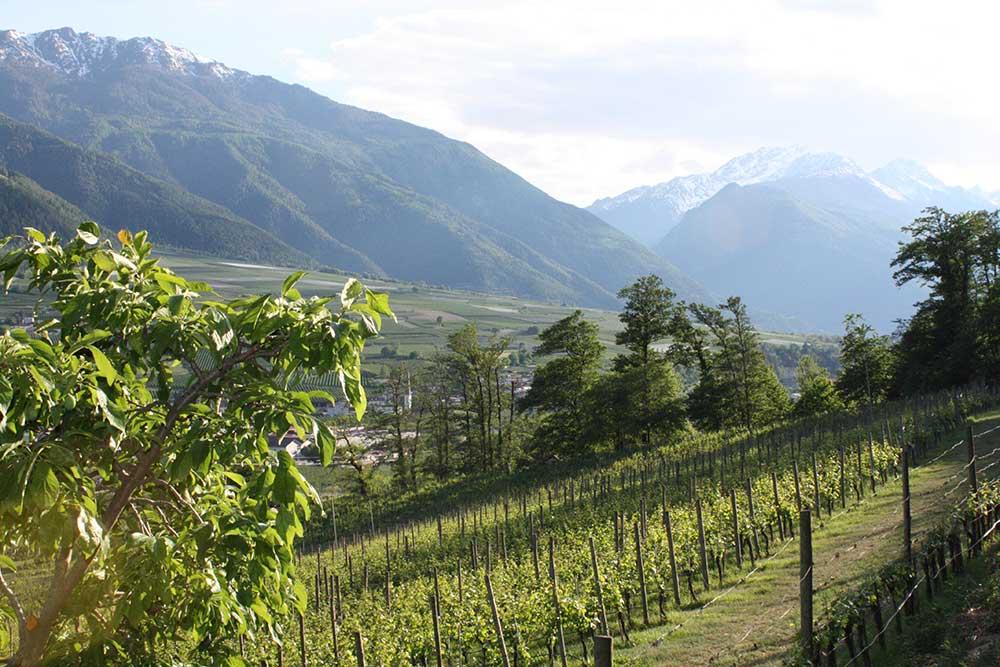 weinberge-im-vinschgauer-sonnenberg